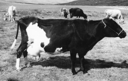 Kostagripurinn Ljómalind á Másstöðum, næstafurðabesta kýr á Íslandi árið 1960.