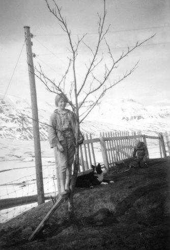 Rósa prílar í tré á Hjaltastöðum.